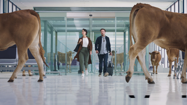 WestJet guests walking to their gate with cows getting out of their way.
