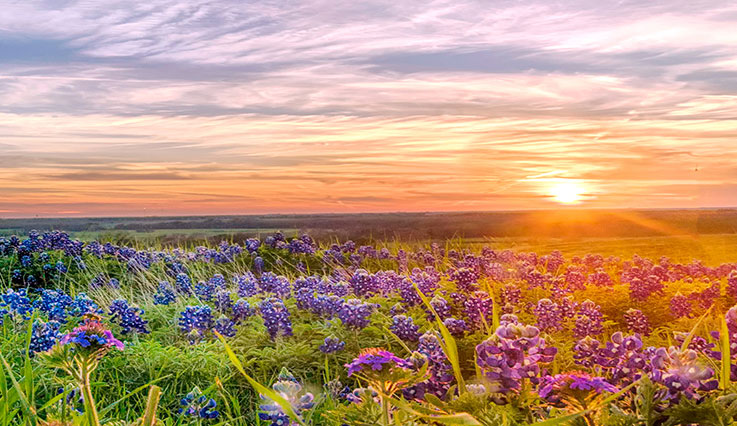 Beautiful sunset over a field of flowers in Texas.