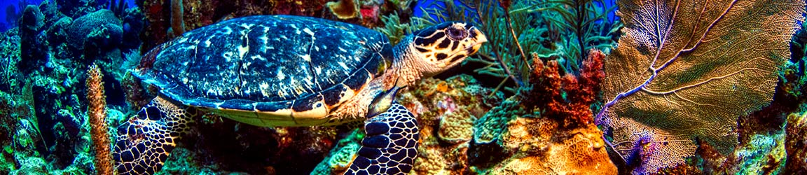 Sea turtle on a coral reef.