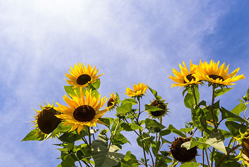 Showing slide 1 of 20 in image gallery, kelowna-british-columbia_sunflowers