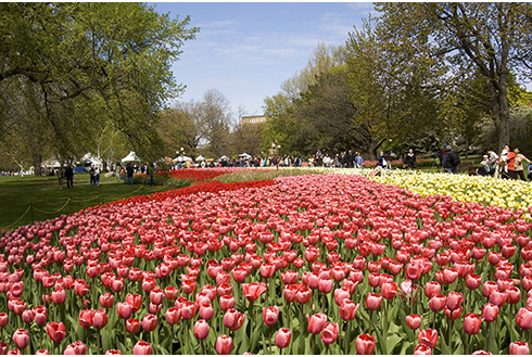 Showing slide 5 of 21 in image gallery, A field of tulips at the Canadian Tulip Festival in Ottawa