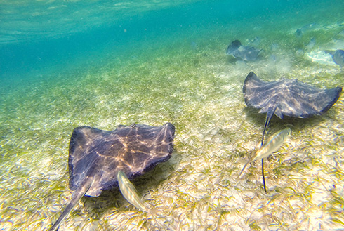 Showing slide 5 of 8 in image gallery, Sting ray in the ocean