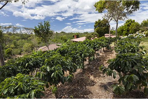 Showing slide 10 of 10 in image gallery, Coffee plantation in Costa Rica
