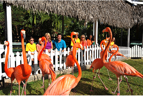 Showing slide 11 of 25 in image gallery, Pink Flamingos outside at Ardastra Zoo