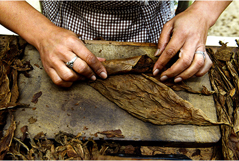 Showing slide 15 of 25 in image gallery, A person rolling a cigar at Graycliff Cigar Factory