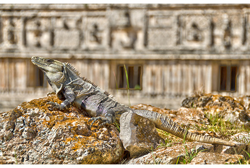 Showing slide 16 of 31 in image gallery, Prehistoric lizard on a rock in Merida, Mexico