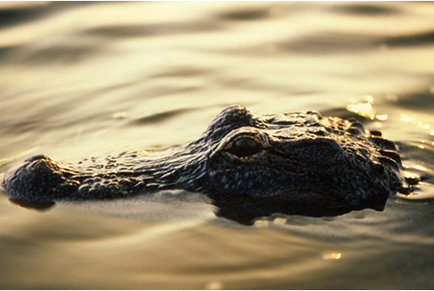 Showing slide 8 of 22 in image gallery, Fort Lauderdale Florida alligator in the everglades