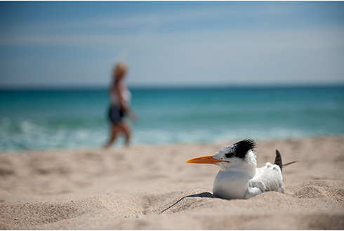 Showing slide 10 of 22 in image gallery, Fort Lauderdale Florida bird on the beach