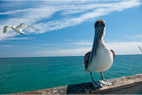 Showing slide 4 of 22 in image gallery, Fort Lauderdale Florida pelican birdwatching